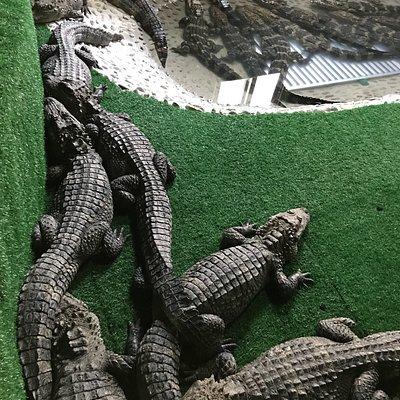 冬季鳄鱼冬眠模式中,走进冬眠房,一屋子的鳄鱼,给人一种进入侏罗纪公园的感觉。