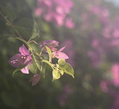 我和紫荆花