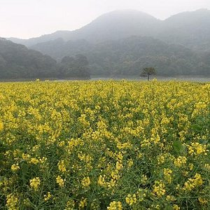 黄黄的菜花