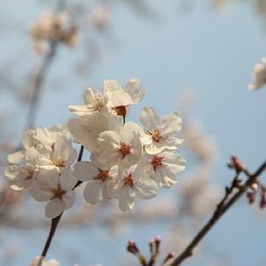 樱花盛开的日子