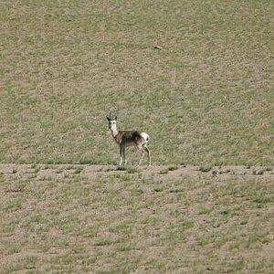 那曲高寒草原上的原羊
