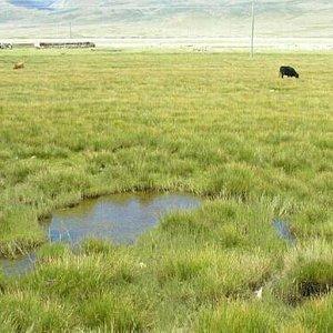 牧草肥,牛羊壮