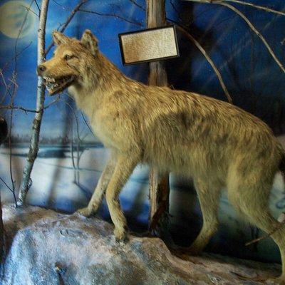 ratty timber wolf