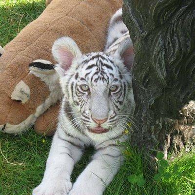 Bengal Tiger Cub Almos