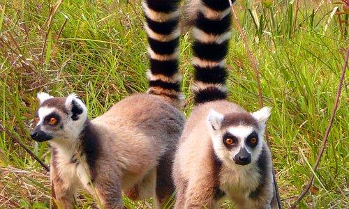 Ring tailed lemurs at Perinet