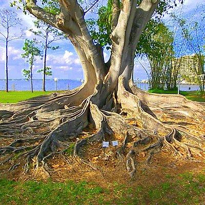 Massive Banyan Roots