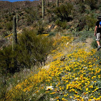 Marvelous Mexican Poppies