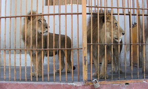 lions in their tiny cages