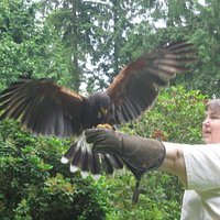 My wife, Dana, helping to flight-train 'Storm,' a young Harris hawk.