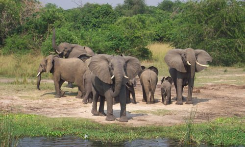 Elephants on the nile at Murchison Falls