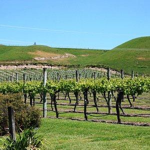 The vines outside Te Mata
