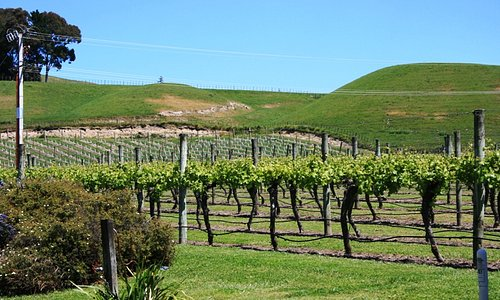 The vines outside Te Mata