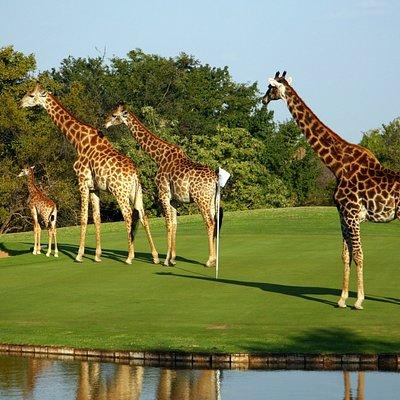 Giraffe on Golf course