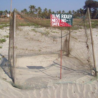 turtle nests morgim beach