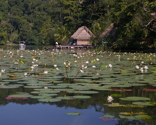 Lily Pads in Rio Dulce
