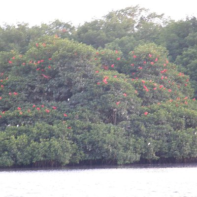 Hundreds of scarlet ibis & snowy egrets roosting at Caroni Swamp, most hidden by mangrove thicke