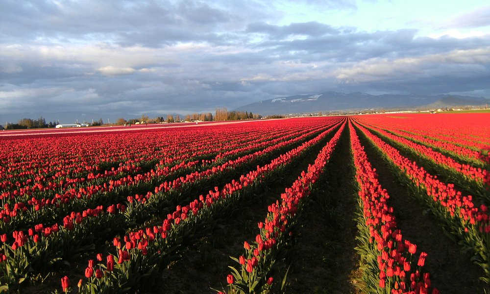 Tulip fields near LaConner WA -Skagit Valley Tulip Festival