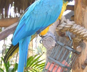 Amazon parrot or macaw I believe