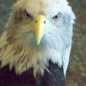 Harriett (MN license plate eagle)