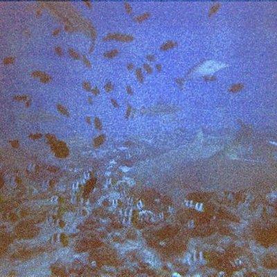 Tiburon Limón, Motu Tapu - Bora Bora