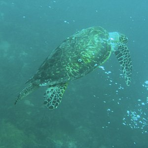 Large  Turtle photo  taken on a reef @ 60ft
