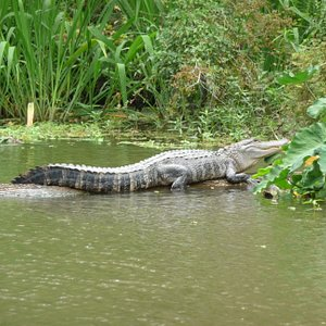 Another gator basking in the sunlight..
