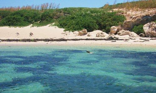 Sea lion, Penguin Island, WA