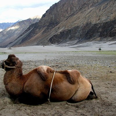 Double humped camels