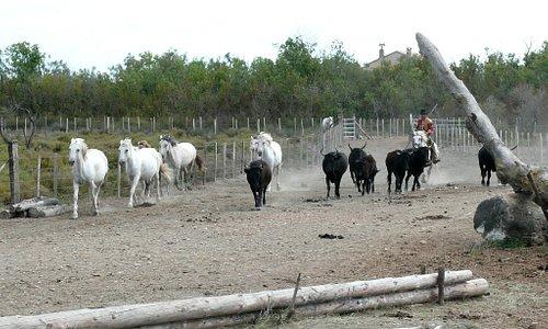 Traditional Camargue cowboy