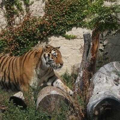 Big kitty... Boise Zoo :)