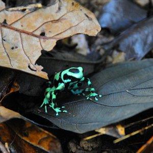 rana dedrobates verde y negra en tour de dia