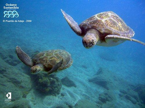 Green turtles in El Puertito