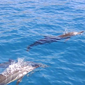Spinner dolphins that came up to the boat as we were going back in from whale watching.