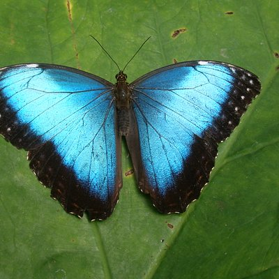 Blue Morpho photographed in the garden