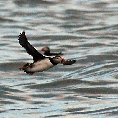 An Atlantic Puffin flying