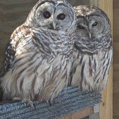 bard owls