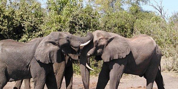 Family gathering of elephants