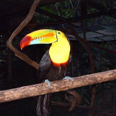Tucan, Macaw Moutain, Copan, Honduras