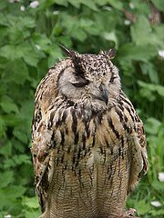 Indy Eagle owl