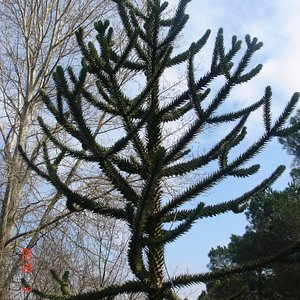 A Latin American Tree