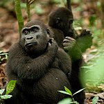 Flachland-Gorillas