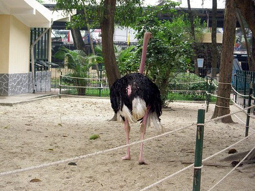 Ostrich with missing feathers