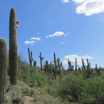 The Saguaro Forest in the Sonoran Desert