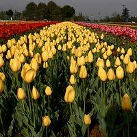 The Tulip Garden in Srinagar, Kashmir. Flowers bloom in spring for only 3-4 weeks.