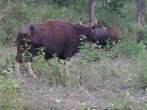 Bison interception