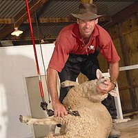 Sheep dog and shearing show twice daily