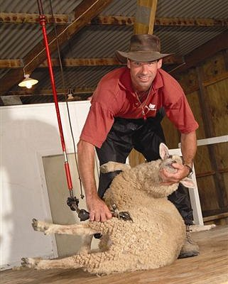 Sheep dog and shearing show twice daily