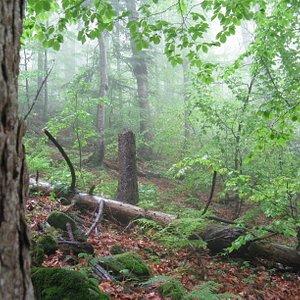 rainy day in foggy Stuzhytsa primeval beech-fir forest (Slovakia)