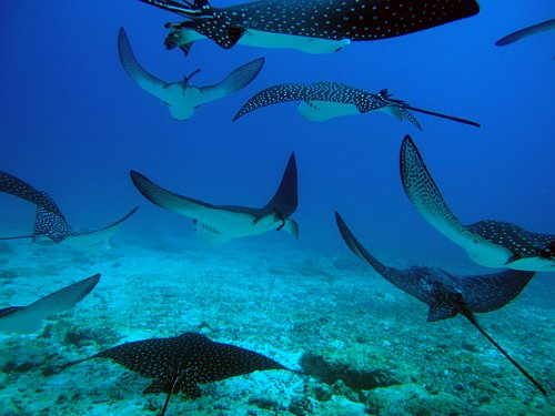 White spotted eagle rays