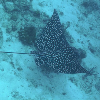 Spotted Eagle Ray